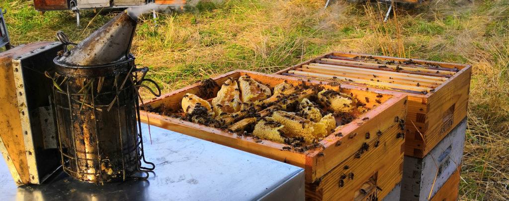 Rayons de miels visibles sur une ruche ouverte.