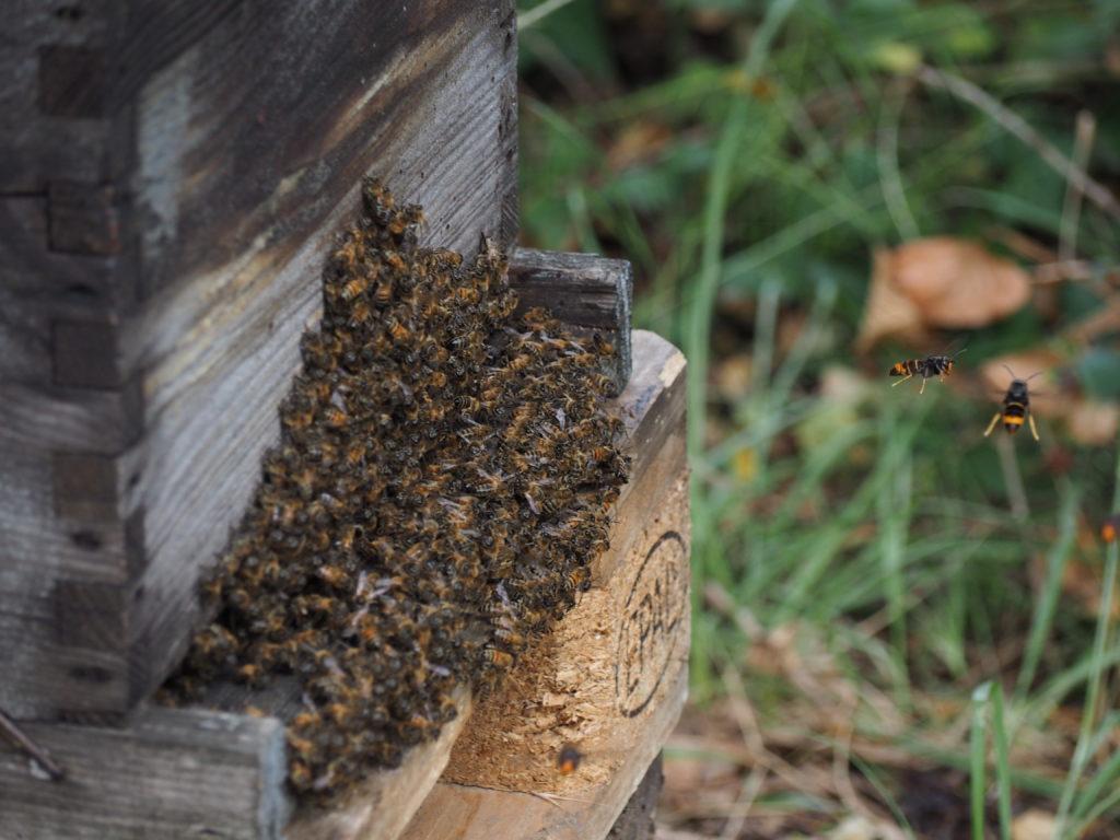 frelons asiatiques devant une ruche